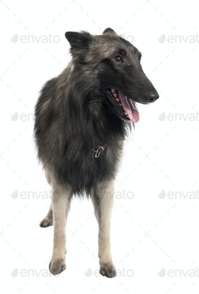 Puppy Belgian Tervuren (2 years old)