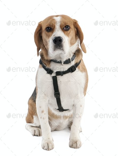 Beagle (2 years old)