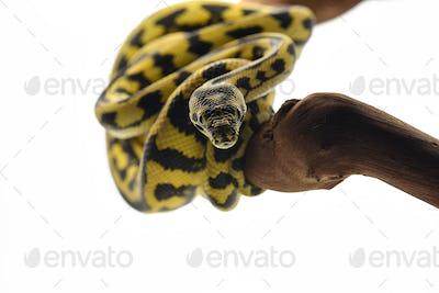 The carpet tree python isolated on white background