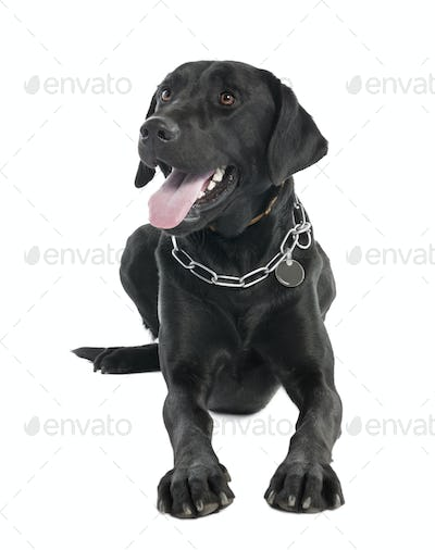 Labrador (2 years old)