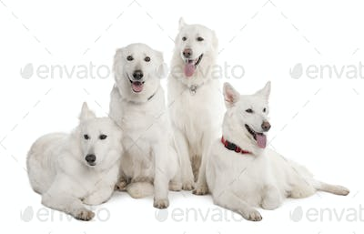 White Shepherd Dog (1 year old)