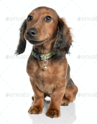 Dachshund (7 years old)
