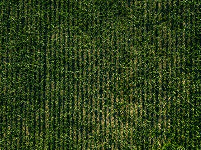 Aerial view of green corn field with row lines, top view from above