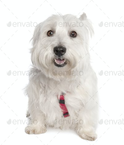 West Highland White Terrier (7 years old)