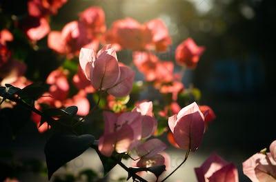 Bougainvillea flower in sun light