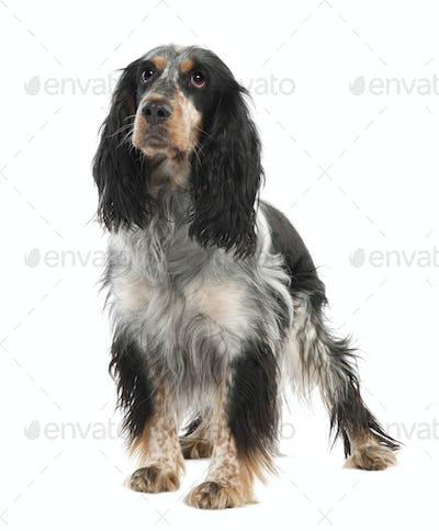 English Springer Spaniel (2 years old)