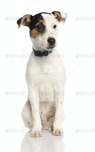 Jack russell puppy (5 months old)