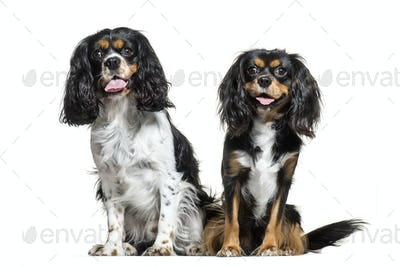 Cavalier King Charles, 6 years old, sitting in front of white background