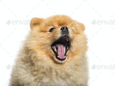 Spitz Dog yawning in front of white background