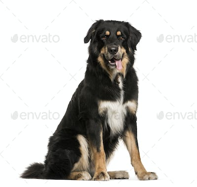 Bouvier, 18 months old, sitting in front of white background
