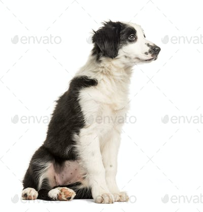 Border Collie, 2 months old, sitting in front of white background