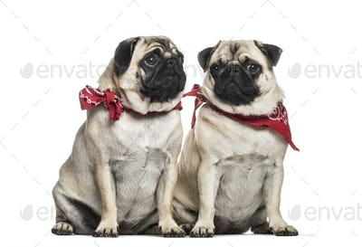 Pug, 2 years old and 1 year old, sitting in front of white background
