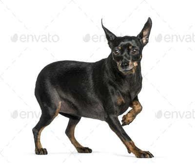 Miniature Pinscher in front of white background