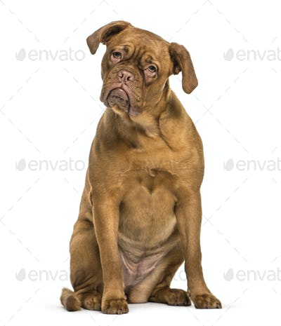 Dogue de Bordeaux sitting in front of white background