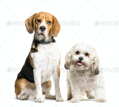 Beagle, Mixed-breed dog sitting in front of white background