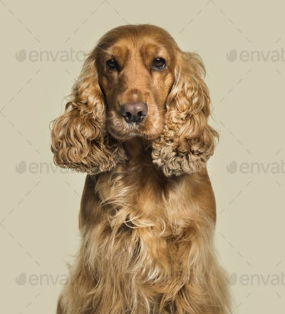 English Cocker Spaniel looking at camera against white background
