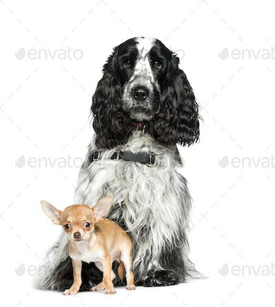 English Cocker Spaniel, Chihuahua, 4 months old, sitting in front of white background