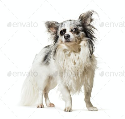 Chihuahua standing against white background