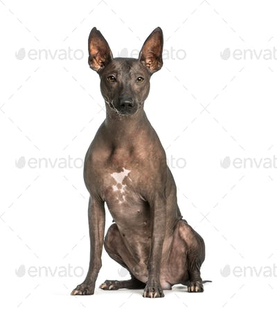 Peruvian Hairless Dog, 3 years old, sitting in front of white background
