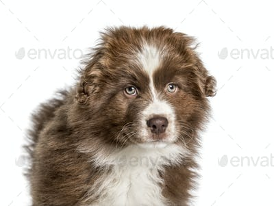 Australian Shepherd , 2 months, looking at camera against white background