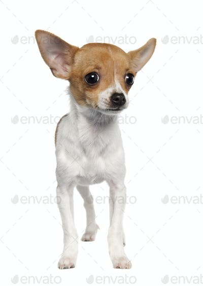 chihuahua puppy (4 months old)