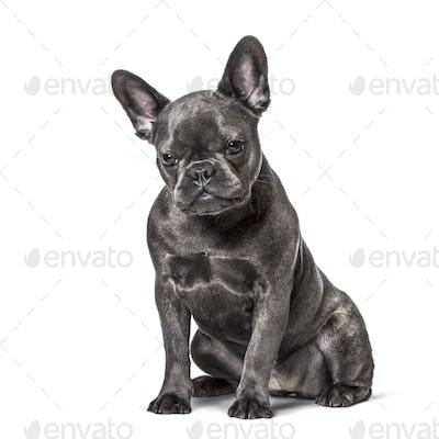 French Bulldog , 6 months, sitting against white background