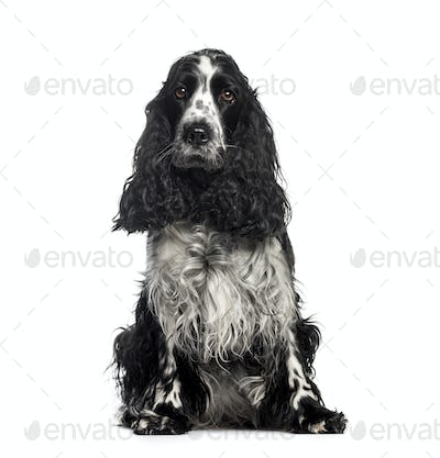 Cocker Spaniel, 3 years old, sitting in front of white background