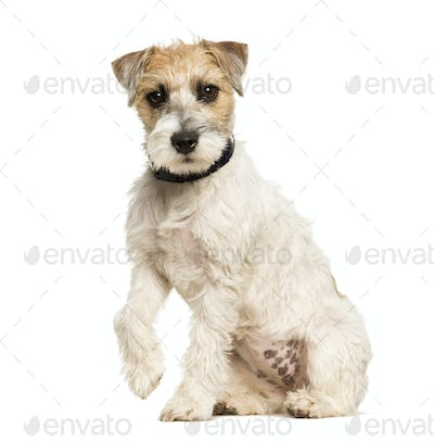 Parson Russell terrier dog sitting against white background