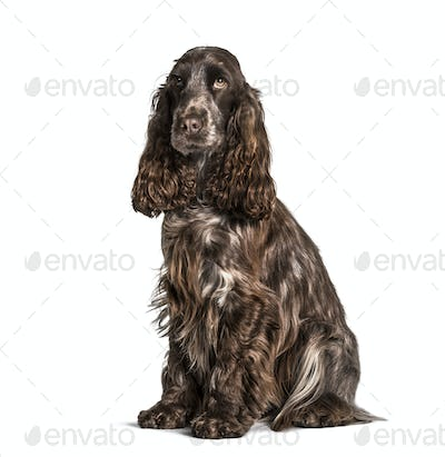 Cocker sitting against white background