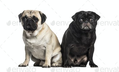 Pug, 2 years and 4 years old, sitting in front of white background