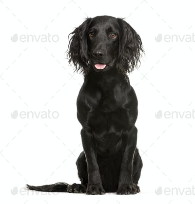 Cocker Spaniel, 1 year old, sitting in front of white background