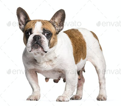 French Bulldog with breast cancer in front of white background
