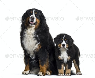 Bernese Mountain Dog, 8 years old and 3 months old, sitting in front of white background