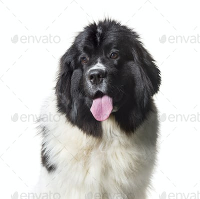 Newfoundland , 10 months old, against white background