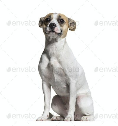 Mixed-breed dog, 1 year old, sitting in front of white background