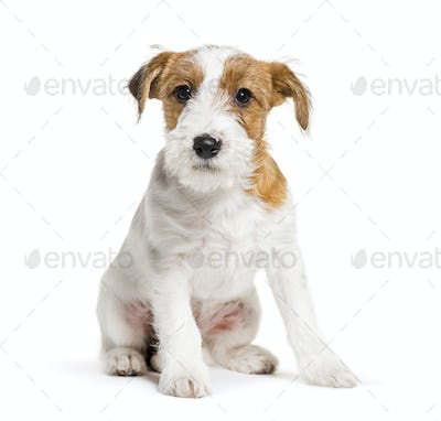 Jack Russell Terrier, 3 months old, sitting in front of white background