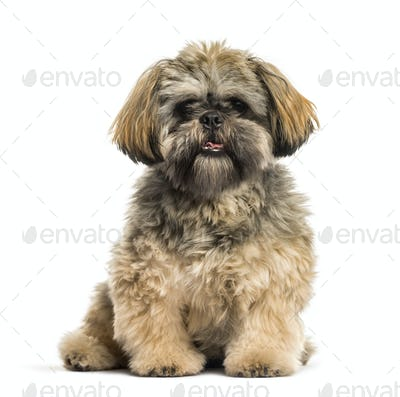 Shih Tzu, 2 months old, sitting in front of white background
