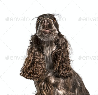 Cocker Spaniel against white background