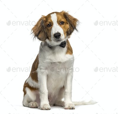 Kooikerhondje, 4 months old, sitting in front of white background