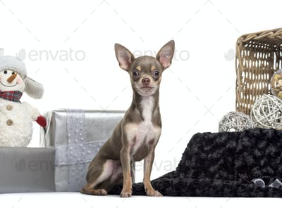 Chihuahua, 6 months old, sitting in front of white background