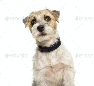 parson Russell terrier dog against white background