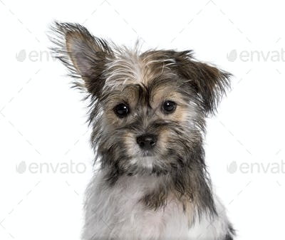 Mixed-breed , yorkshire and chihuahua, looking at camera against white background
