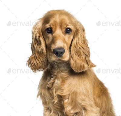 Cocker spaniel looking at camera against white background