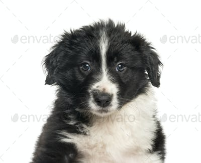 Border Collie , 2 months, against white background