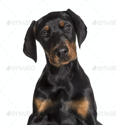 Doberman, 2 1/2 months, looking at camera against white background