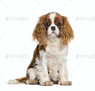 Puppy Cavalier King Charles Spaniel, dog