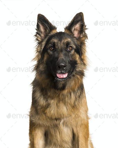German Shepherd dog against white background
