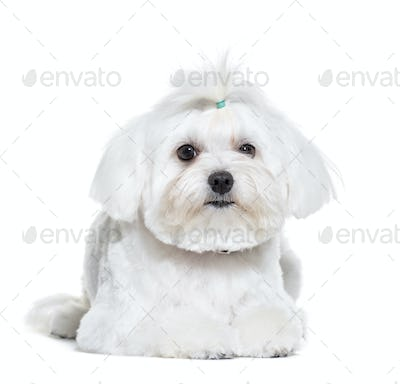 Bichon Frise lying in front of white background
