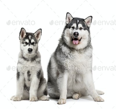 Puppy and fat adult Alaskan Malamute sitting in front of white background