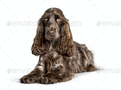 Cocker looking at camera against white background
